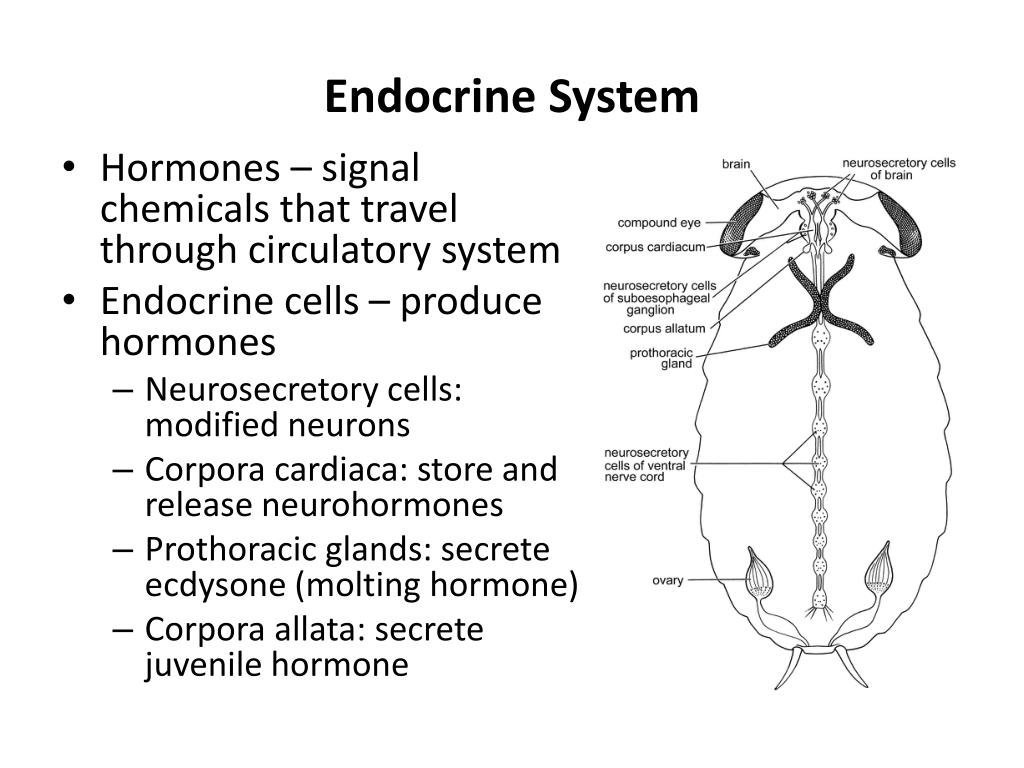 Insect Endocrinology -