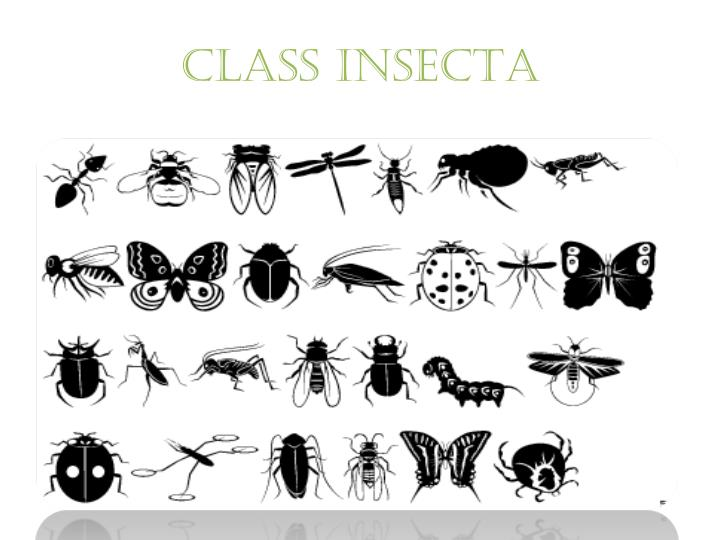 class insecta n.