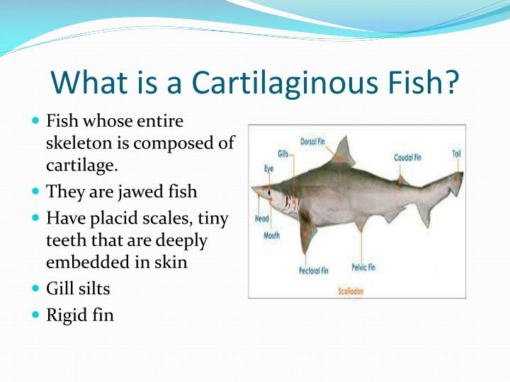 What is a Cartilaginous Fish?