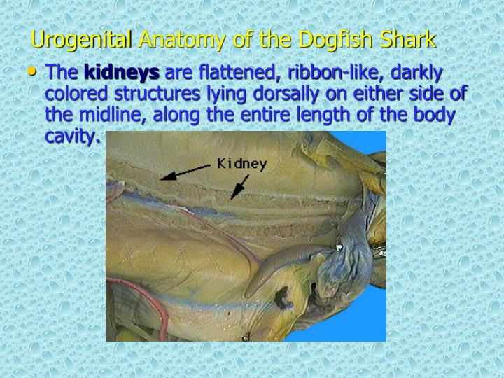 PPT - Dogfish Shark ( Squalus acanthius ) Dissection: Anatomy and ...