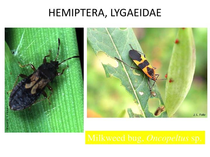 HEMIPTERA, LYGAEIDAE
