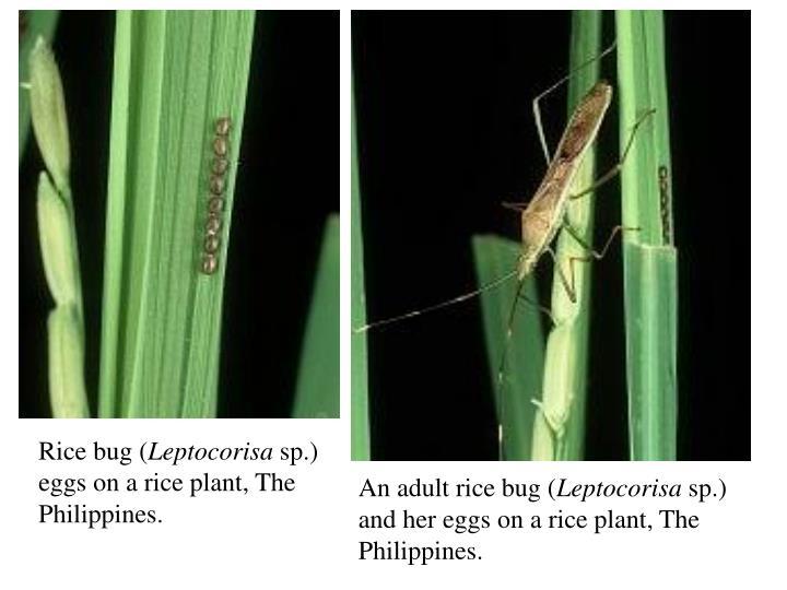 Rice bug (