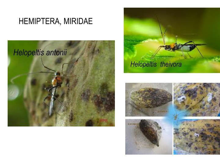 HEMIPTERA, MIRIDAE