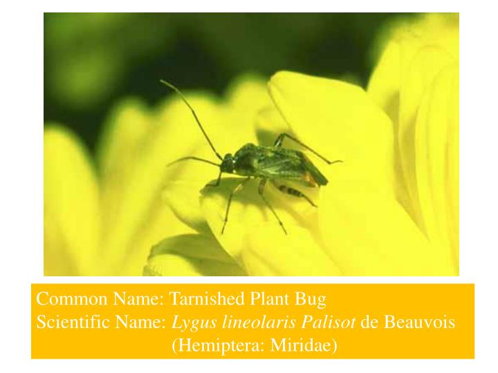 Common Name: Tarnished Plant Bug