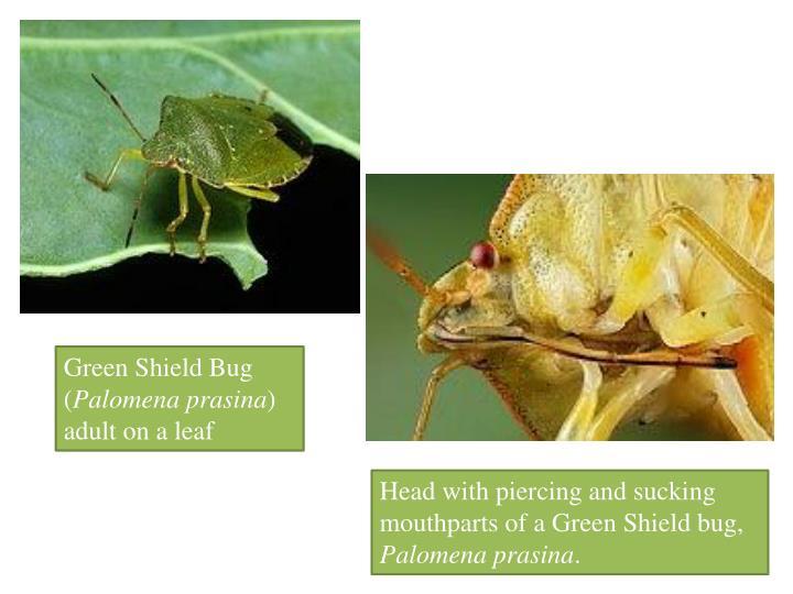 Green Shield Bug (