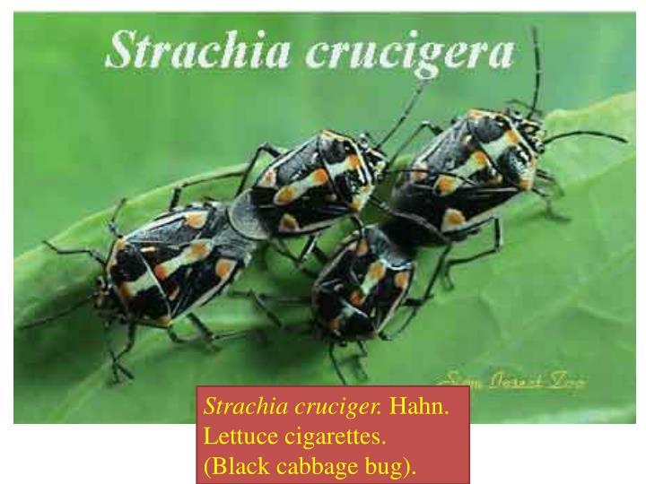 Strachia cruciger.