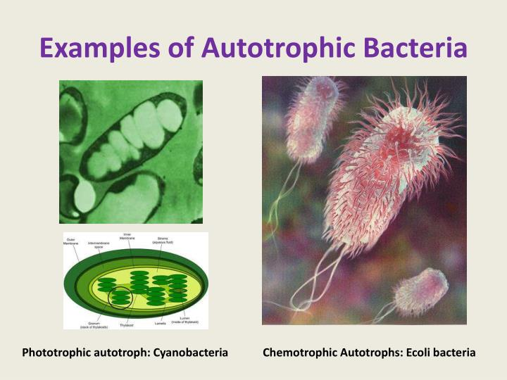 PPT - BACTERIA PowerPoint Presentation - ID:2016471