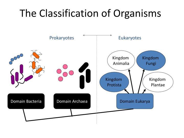Image of: Symmetry The Classification Of Organisms Prokaryotes Eukaryotes Kingdom Animalia Expertoptionsclub Ppt Marine Invertebrates Powerpoint Presentation Id2017439