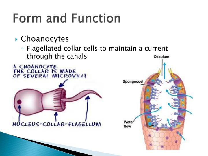 collar cells function