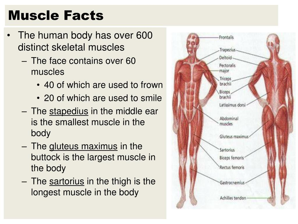 biggest muscles in the human body - HD1024×768