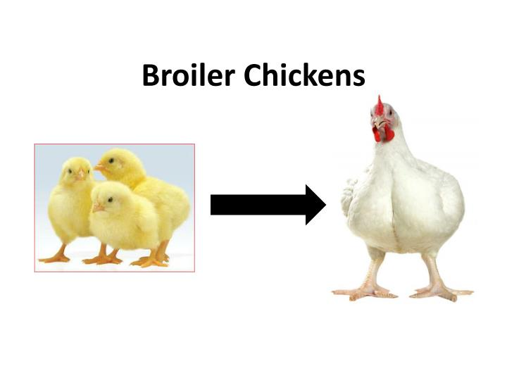 broiler chickens n.