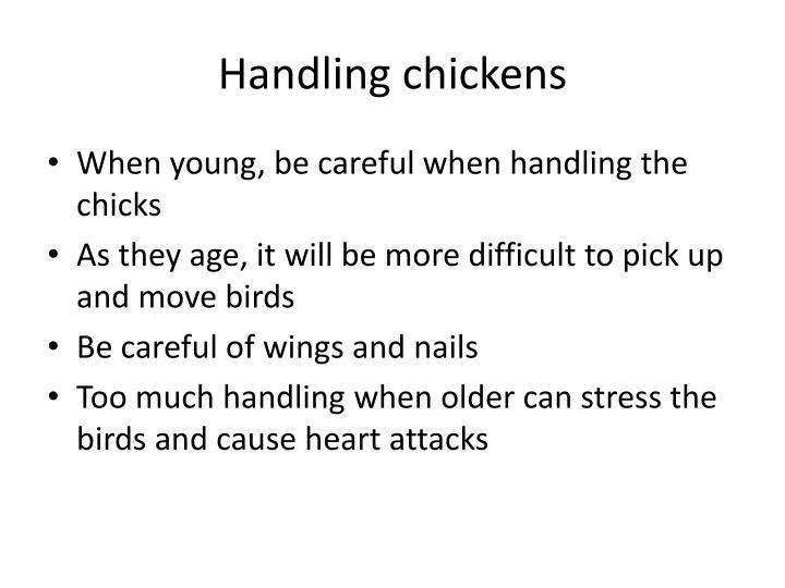 Handling chickens