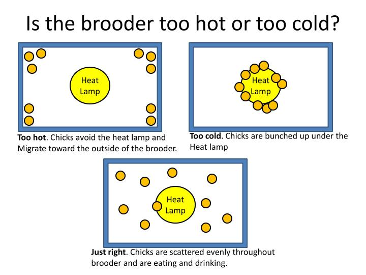 Is the brooder too hot or too cold
