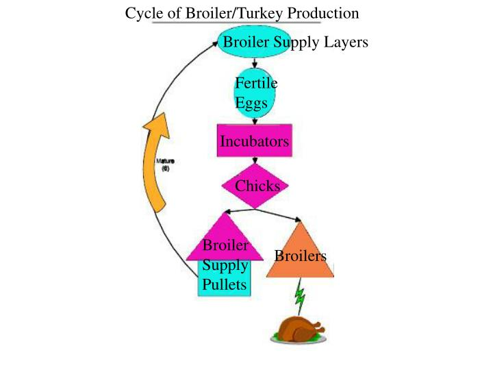 Cycle of Broiler/Turkey Production