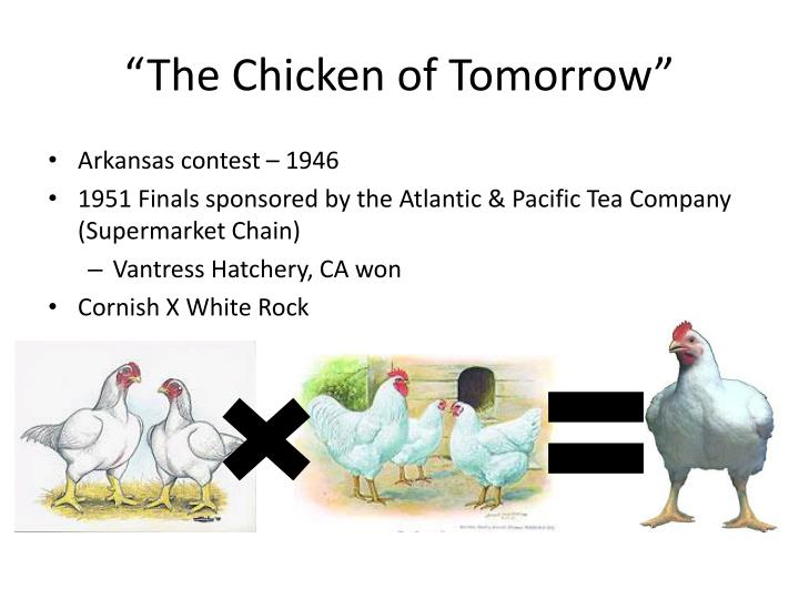 """""""The Chicken of Tomorrow"""""""