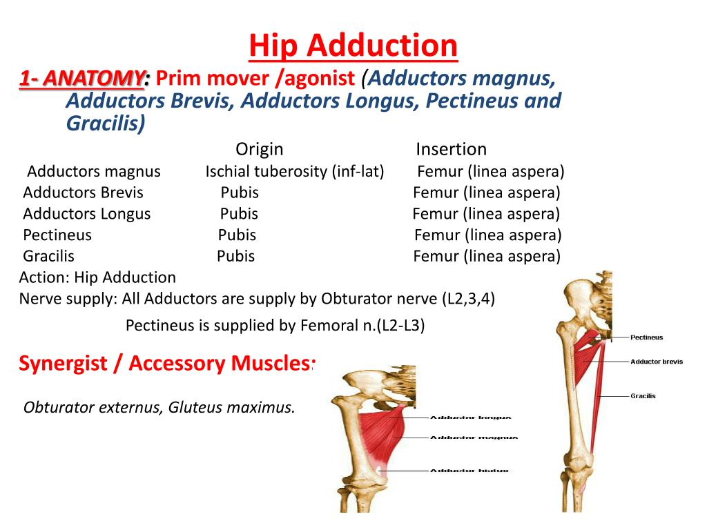 PPT - Hip Muscles PowerPoint Presentation - ID:2019850