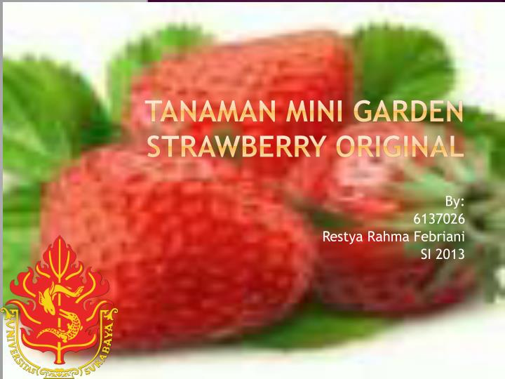 tanaman mini garden strawberry original n.