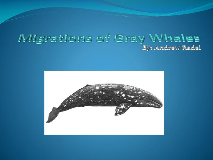 migrations of gray whales n.