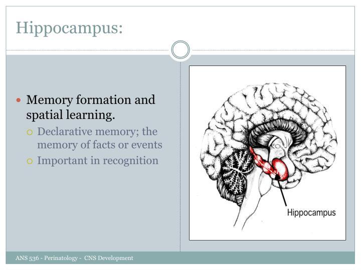Hippocampus:
