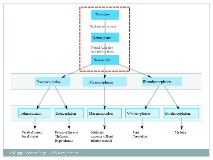 ANS 536 - Perinatology -  CNS Development
