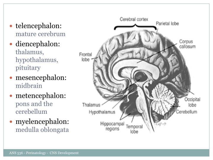 telencephalon: