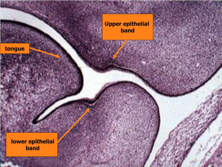 Upper epithelial