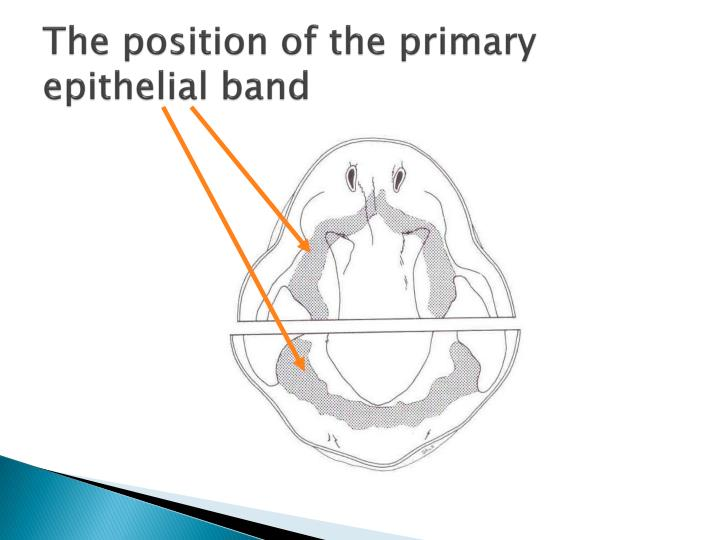 The position of the primary epithelial band
