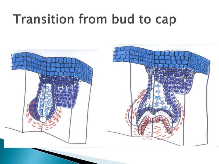 Transition from bud to cap