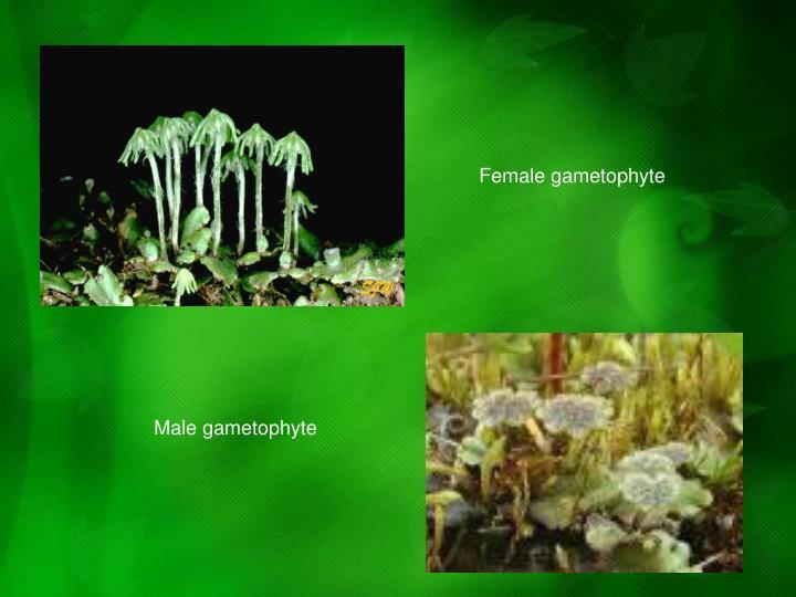 Female gametophyte