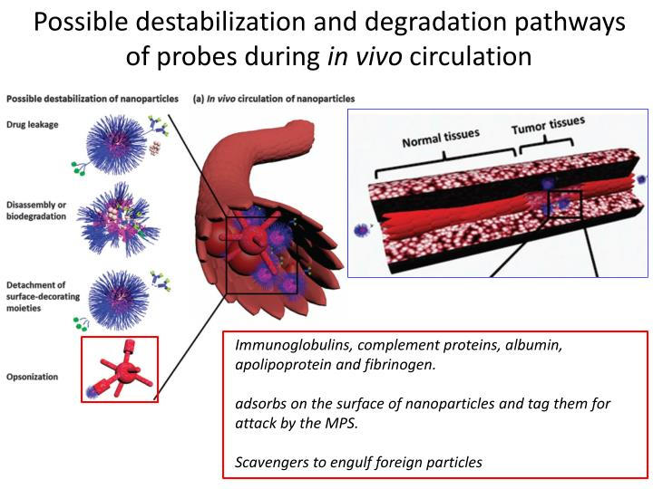 Possible destabilization and degradation pathways of