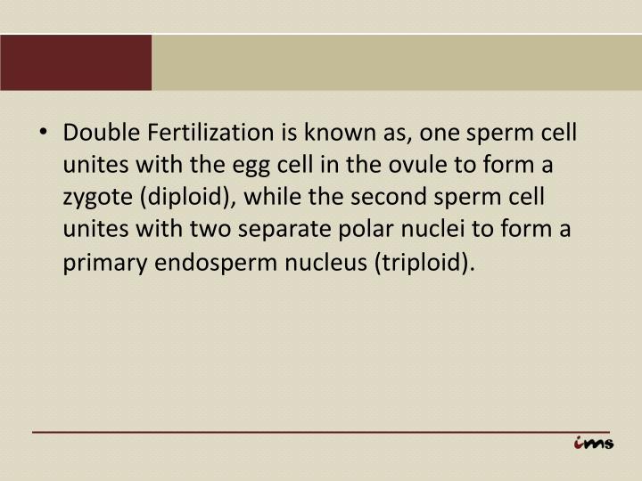 Double Fertilization is known as, one