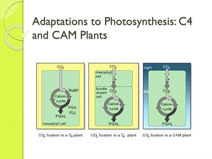 photosynthesis c3 c4 and cam plants Temperature responses of photosynthesis are pooled from the published data and are averaged in c 3, c 4, and cam plants, respectively (86 c 3 herbaceous plants, 31 c 4 plants, and 27 cam plants) in cam plants, data for co 2 fixation rate at night was pooled.