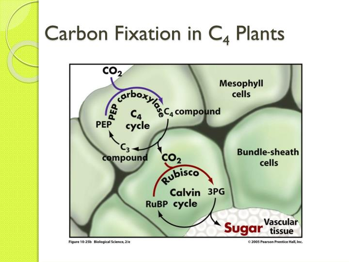 photosynthesis in c3 plants and their Whereas most plants perform what is known as c3 photosynthesis, plants that have adapted to hot environments perform a what is the advantage of c4 photosynthesis.