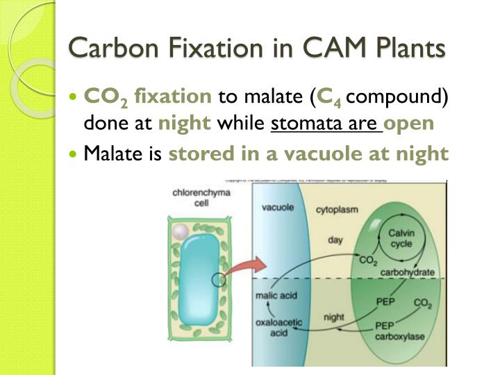 alternative methods of carbon fixation that Carbon fixation strategy used by each plant one would expect cam plants to have little or no condensation during the day, but possibly a small amount during the night.
