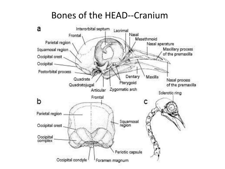 Bones of the HEAD--Cranium