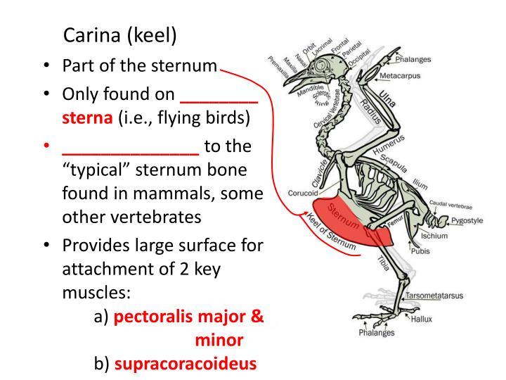 Carina (keel)