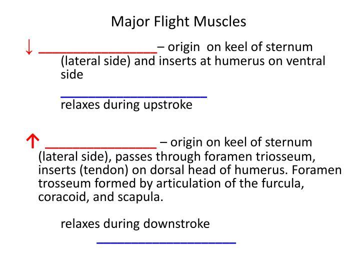Major Flight Muscles
