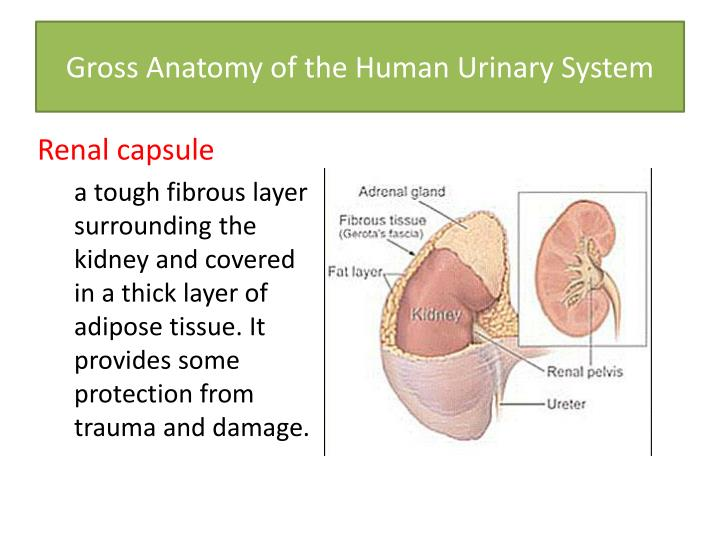 Ppt Exercise 26 Functional Anatomy Of The Urinary System