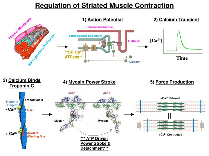 Regulation of Striated Muscle Contraction