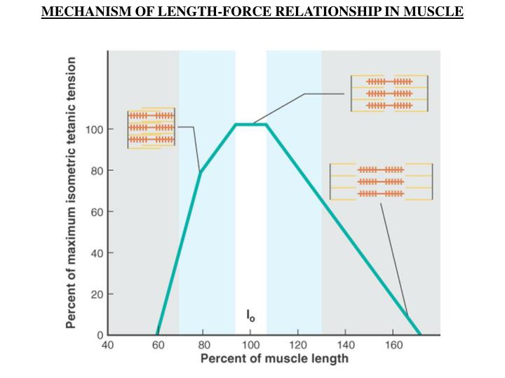 MECHANISM OF LENGTH-FORCE RELATIONSHIP IN MUSCLE
