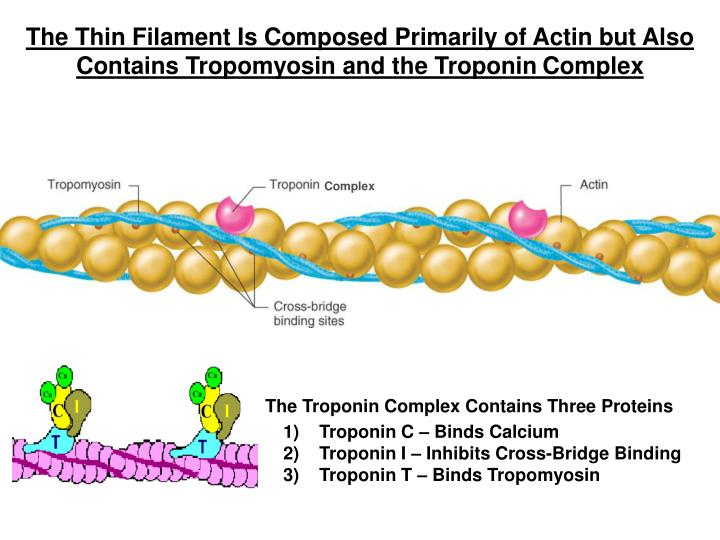 The Thin Filament Is Composed Primarily of Actin but Also Contains Tropomyosin and the Troponin