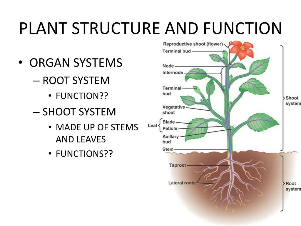 PPT - PLANT STRUCTURE AND FUNCTION (THE LAST CHAPTER ...