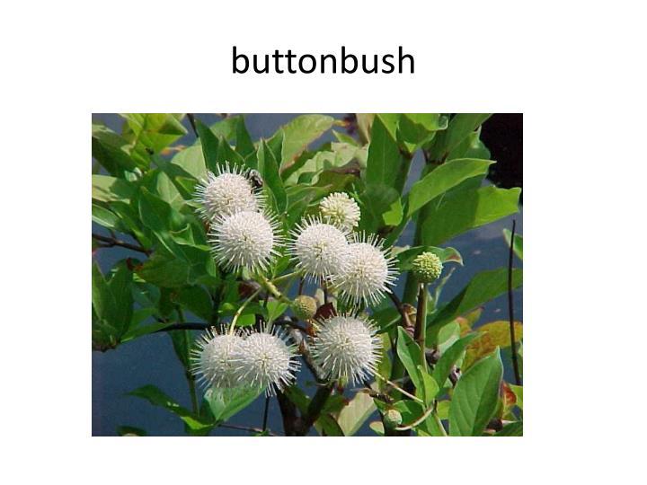 Buttonbush1