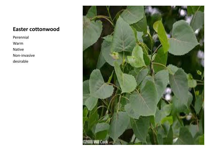 Easter cottonwood