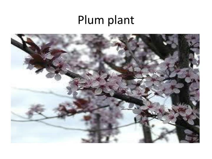 Plum plant