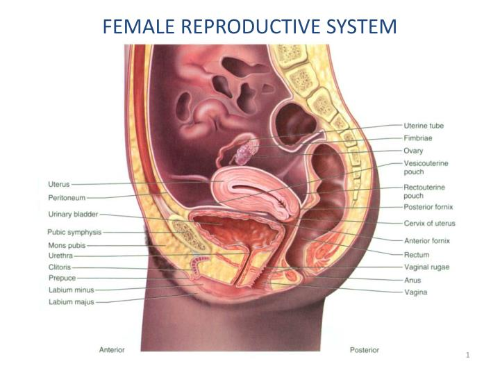 Ppt Female Reproductive System Powerpoint Presentation Id2029843
