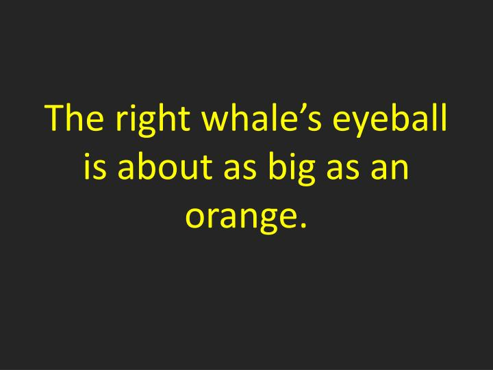 The right whale's eyeball is about as big as an orange.