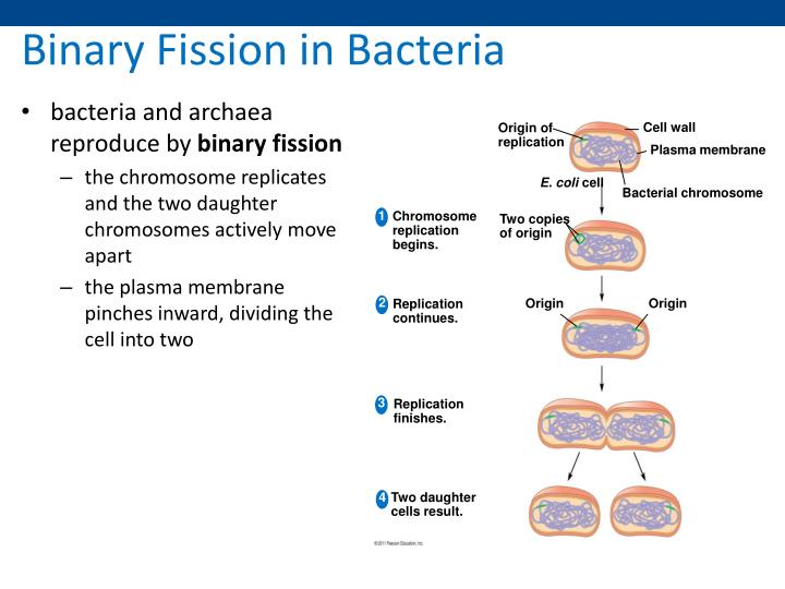 binary fission Binary fission the chromosome inside of the cell attaches to the plasma membrane, when attached the chromosome replicates after the chromosome replicates the two daughter chromosomes become attached to different sites on the plasma membrane.
