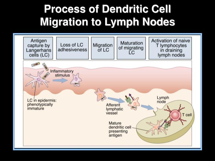Process of Dendritic Cell