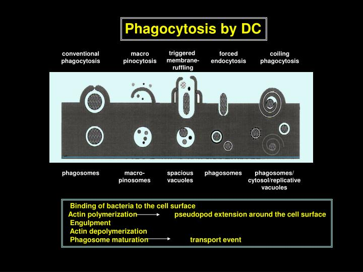Phagocytosis by DC